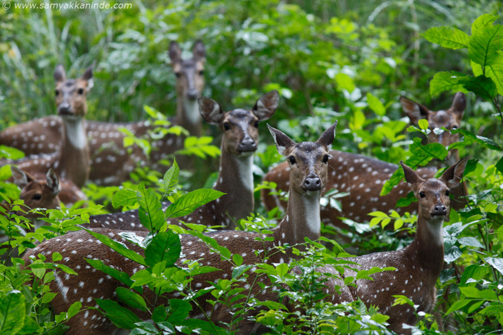 The chital or Spotted Deer (Axis axis)